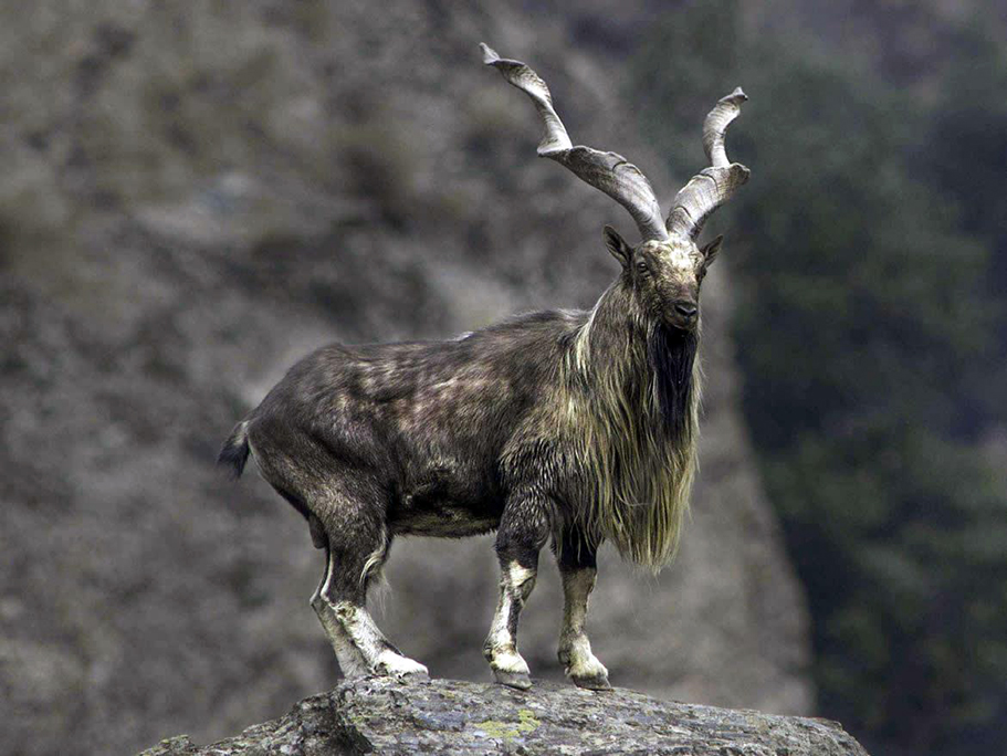 Markhor   CRITTERFACTS